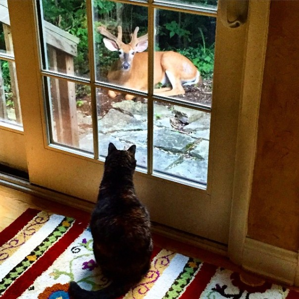 Kim The Cat meets a deer for the first time.