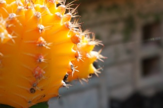 yellowcactusclose