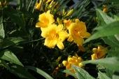 yellowlilies